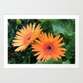 Orange Gerber Daisies in Bloom Art Print