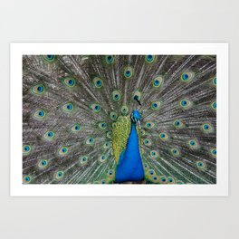 Fabulous and I know it Peacock Art Print