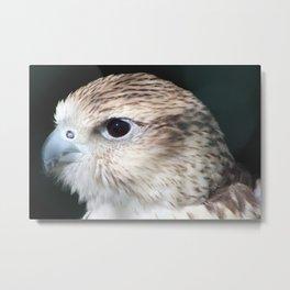 Saker Falcon 1 Metal Print