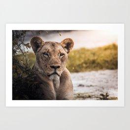 Lion nature Art Print