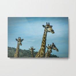 Giraffe Group Looking Metal Print