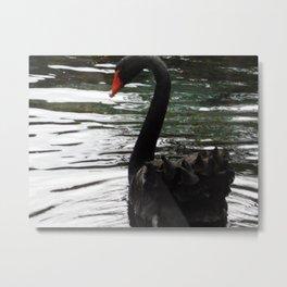 Black swan on the water Metal Print