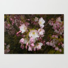 Pink and White Cherry Blossoms Canvas Print