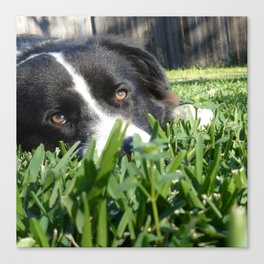 Thoughtful Border Collie Canvas Print