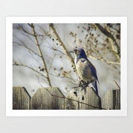 Blue Jay Nature Photography Art Print
