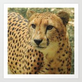 Cheetah Portrait World's Fastest Animal Art Print