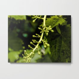 ...  green leaves & young grapes  ... Metal Print