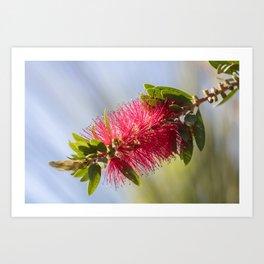 callistemon red flower in bloom Art Print