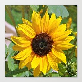 Sunflower nature photo Canvas Print