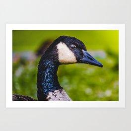 Canadian Goose Photograph Art Print