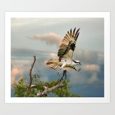 Osprey with nesting material Art Print