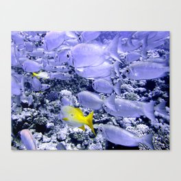 Bigeye and Yellowtail Snapper Canvas Print