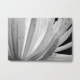Chrysanthemum Cosmos Metal Print