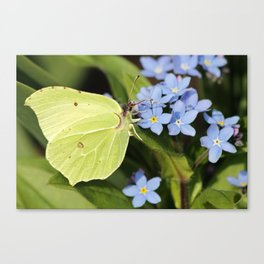 Brimstone Flutterby Canvas Print