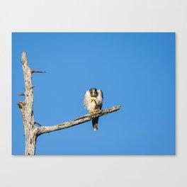 A Grumpy Peregine Falcon Canvas Print