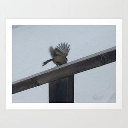 Chickadee Taking Flight Art Print