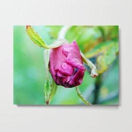 Rolled-up Wet Rose Metal Print