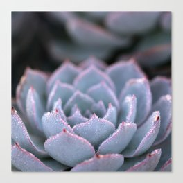 Morning Echeveria #3 Canvas Print