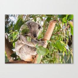 Australia's 'Native Bear', Koala, Australia Canvas Print