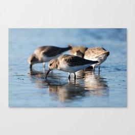 Dunlin Sandpipers | Bird | Wildlife Photography Canvas Print
