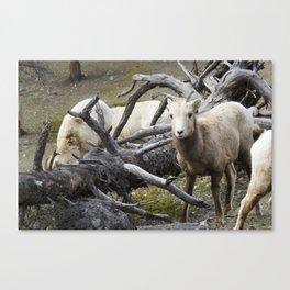 White Goats & A Dead Tree Canvas Print