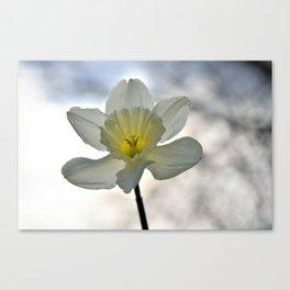 Daffodil In The Sun Canvas Print