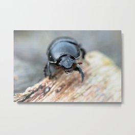Close-up of a Dor / Dumbledore Dung Beetle Metal Print
