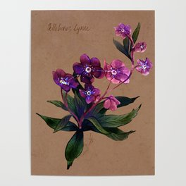 Helleborus lyrae Poster