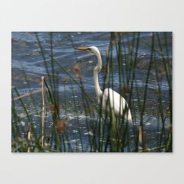 Australian Great Egret Canvas Print