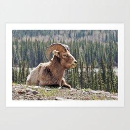 Smiling Bighorn Mountain Sheep Art Print