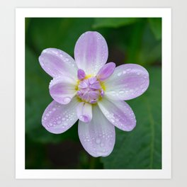 Porcelain Dahlia With Dewdrops Art Print