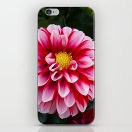 Pink Dahlia Flower iPhone Skin