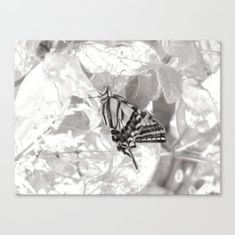 Resting Swallowtail Canvas Print
