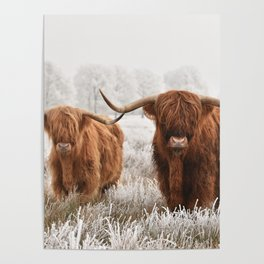 Hairy Scottish highlanders in a natural winter landscape. Poster