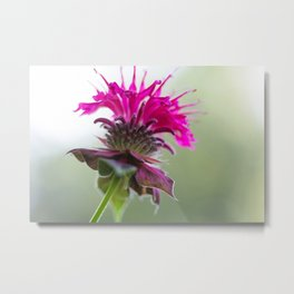 Pink Bee Balm Flower 3 Metal Print