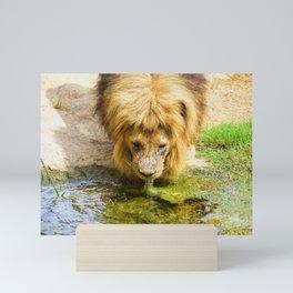 Lion drinking water Mini Art Print