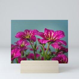 Saxifrage Flowers Mini Art Print