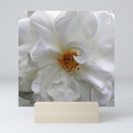 Curly White Rose Flower Macro Mini Art Print