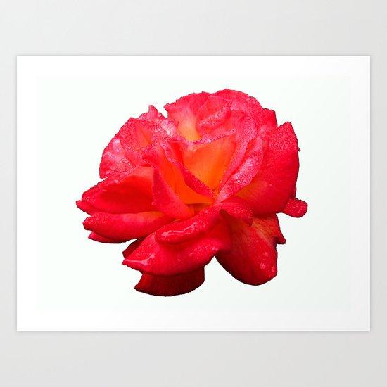 Red Rose (Rosaceae) Art Print