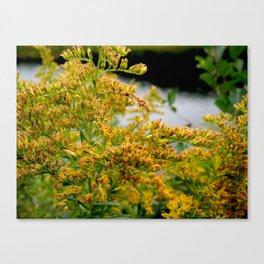 Goldenrod Canvas Print