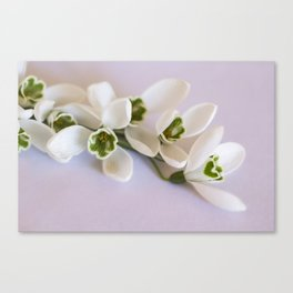Snowdrops - First Spring Flowers Canvas Print