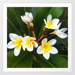 Frangipani Blossom Cluster Art Print