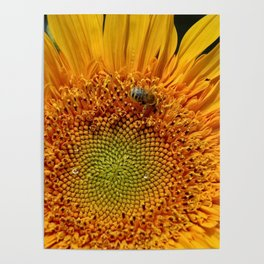 Bee and Dew on Sunflower Poster