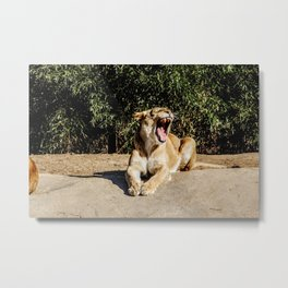 Lioness Growling Metal Print