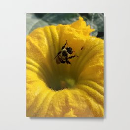 Pollen collecting in a pumpkin blossom Metal Print