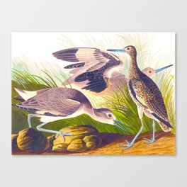 Semipalmated Snipe, or Willet Bird Canvas Print