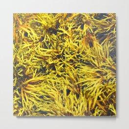 Watercolor Algae, Bladder Wrack 02, Nova Scotia, Canada, Brown and Yellow Convolutions Metal Print