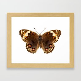 """Butterfly species Junonia orithya """"Eyed Pansy"""" Framed Art Print"""