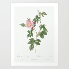 Dog Rose, also known as Big Flowered Dog Rose (Rosa canina grandiflora) from Les Roses (1817–1824) b Art Print