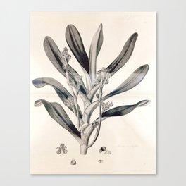 Vanda multiflora Canvas Print